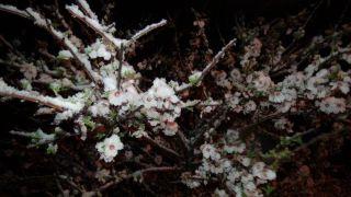 (Özel) Mart'ta çiçek açan kayısıyı Nisan'da kar vurdu