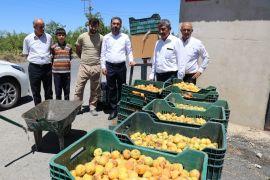 CHP'li Kiraz'dan ucuz kayısı fiyatına tepki