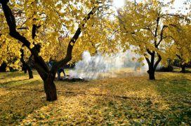 Kayısı ağaçlarında sonbahar uyarısı