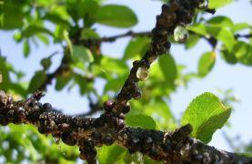Meyvelerde kabuklu bit uyarısı